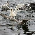 Gulls fighting over food at Shetland Catch pier, Lerwick - geograph.org.uk - 1705322.jpg