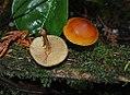 Gymnopilus sapineus (32391377260).jpg