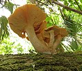 Gymnopilus subtropicus Hesler 327359.jpg