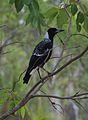 Gymnorhina tibicen Magpie Greemount National Park.jpg