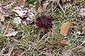 Gyromitra esculenta (47346328082).jpg