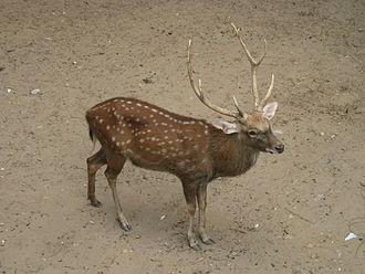 Vietnamese sika deer - Image: Hươu sao