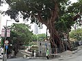 HK SYP 西營盤 Sai Ying Pun 高街 High Street 英皇佐治五世公園 banyan tree near 東邊街 Eastern Street April 2020 SS2 01.jpg