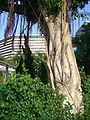 HK TST Salisbury Garden Chinese Banyan Trunk 1.JPG