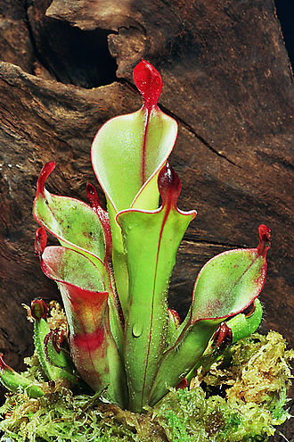 Carnivorous plant - The pitchers of Heliamphora chimantensis are an example of pitfall traps.
