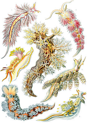 Die 43. Tafel von Ernst Haeckels Kunstformen der Natur (1904) bildet einige Arten der Nudibranchia ab