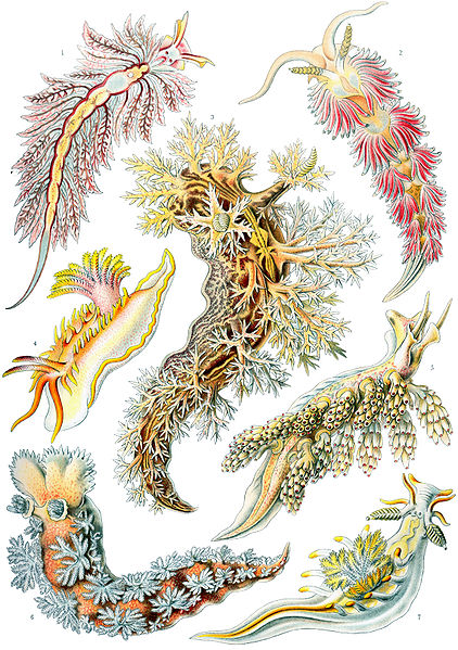 Fil:Haeckel Nudibranchia.jpg