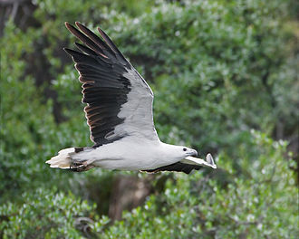 White-bellied sea eagle - Adult flying in Tasmania