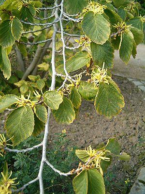 Hamamelis virginiana - Leaves and flowers