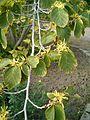 Hamamelis virginiana FlowersLeaves BotGardBln0906.JPG