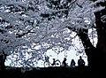 Hanami ^2 (final C.A.F.E. version) - Flickr - cktse.jpg