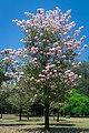 Handroanthus impetiginosus.jpg