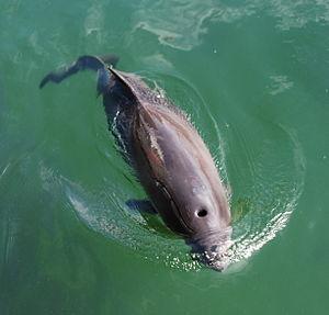 English: The Harbor Porpoise - Kerteminde Fjor...