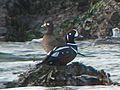 Harlequin Duck - Flickr - GregTheBusker.jpg