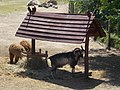 Harmonia Seniors Village, Harmonia Zoo, alpaca in Gyömrő, Pest County, Hungary.jpg