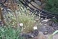 Harpachne schimperi - Botanischer Garten, Dresden, Germany - DSC08433.JPG