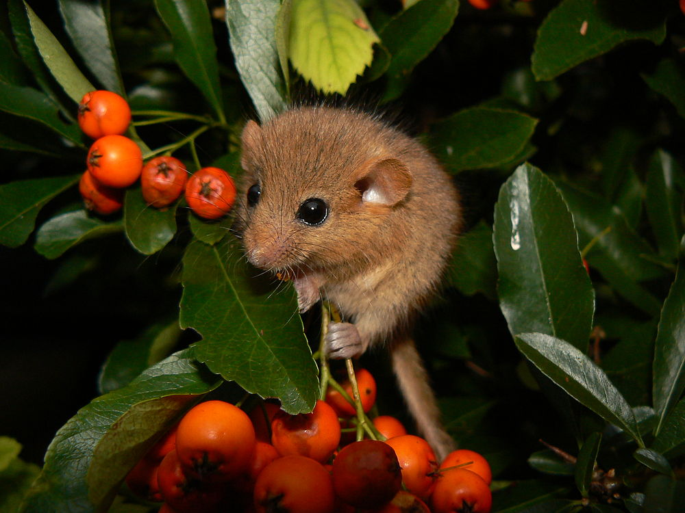 The average litter size of a Hazel dormouse is 4