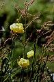 Hautes-Alpes Valpreveyre Fleurs Trolles 071986 - panoramio.jpg