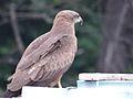 Hawk (Baaz )Back shot.jpg