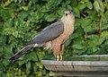 Hawk at the Birdbath (14016184148).jpg