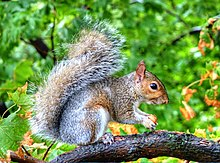 Hdr Squirrel With Acorn West Point Ny (40249984).jpeg