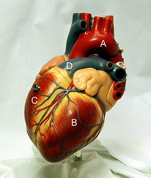 Heart with ventricles and arteries