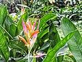 Heliconia burle marx.jpg