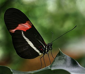 Evolutionary developmental biology - Image: Heliconius erato Richard Bartz