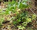 Helleborus cyclophyllus Greek Hellebore (31418503238).jpg