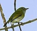 Hemitriccus nidipendulus -Extrema, Minas Gerais, Brazil-8.jpg