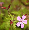 Herb Robert (Geranium robertianum) - geograph.org.uk - 474300.jpg