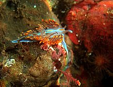 Hermissenda crassicornis in tide pools 2.jpg