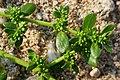 Herniaria glabra (Caryophyllaceae) (Smoother Rupture-wort) - (flowering), Lentse Waard, the Netherlands.jpg