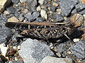 Heteropternis obscurella1.JPG