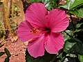 Hibiscus rosa-sinensis 24.jpg