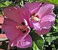 Hibiscus sp. (rose mallow) (Newark, Ohio, USA) 4 (41494826620).jpg