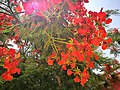 Hibiscus vermells a Huacachina.jpg