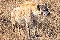 Hiena manchada (Crocuta crocuta), parque nacional Kruger, Sudáfrica, 2018-07-26, DD 22.jpg