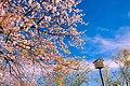 High Park sakura - panoramio.jpg