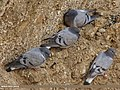 Hill Pigeon (Columba rupestris) (15708987318).jpg