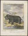 Hippopotamus amphibius - 1700-1880 - Print - Iconographia Zoologica - Special Collections University of Amsterdam - UBA01 IZ21900009.tif
