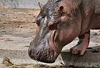 Hippopotamus amphibius qtl1.jpg