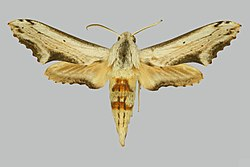 Hippotion stigma BMNHE274944 male up.jpg