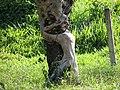 Homem agarrado na árvore - panoramio.jpg