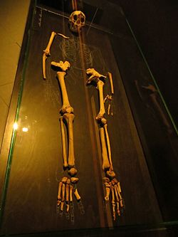 Homo floresiensis 546.JPG