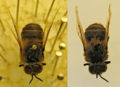 Honeybee pinned museum specimen before and after DNA extraction.png