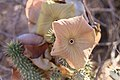 Hoodia gordonii-1496 - Flickr - Ragnhild & Neil Crawford.jpg