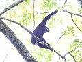 Hoolock Gibbon DSCN1410 01.jpg