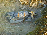 Horned Ghost Crab(Ocypoda ceratophthalma) -1.jpg