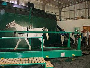 English: White horse on a treadmill in Qatar.